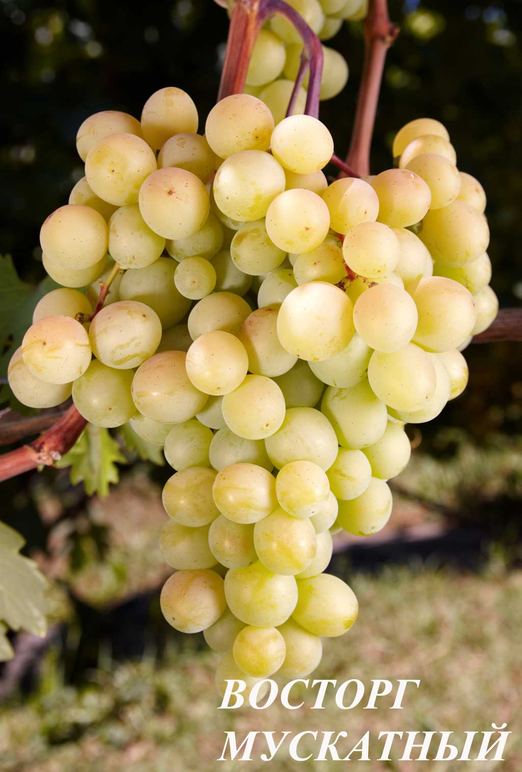 Аксайский маникюр сорт винограда фото